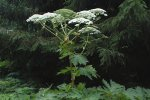 The return of the giant hogweed..!!